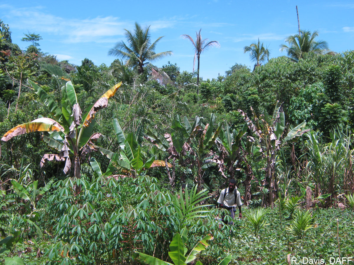 Wilting cooking bananas growing near dead or dying coconut trees in Furan, in the Madang Province of Papua New Guinea.