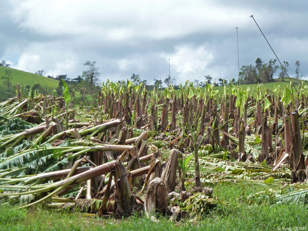 Plants whose canopy had been removed before cyclone Yasi next to doubled over control plants.