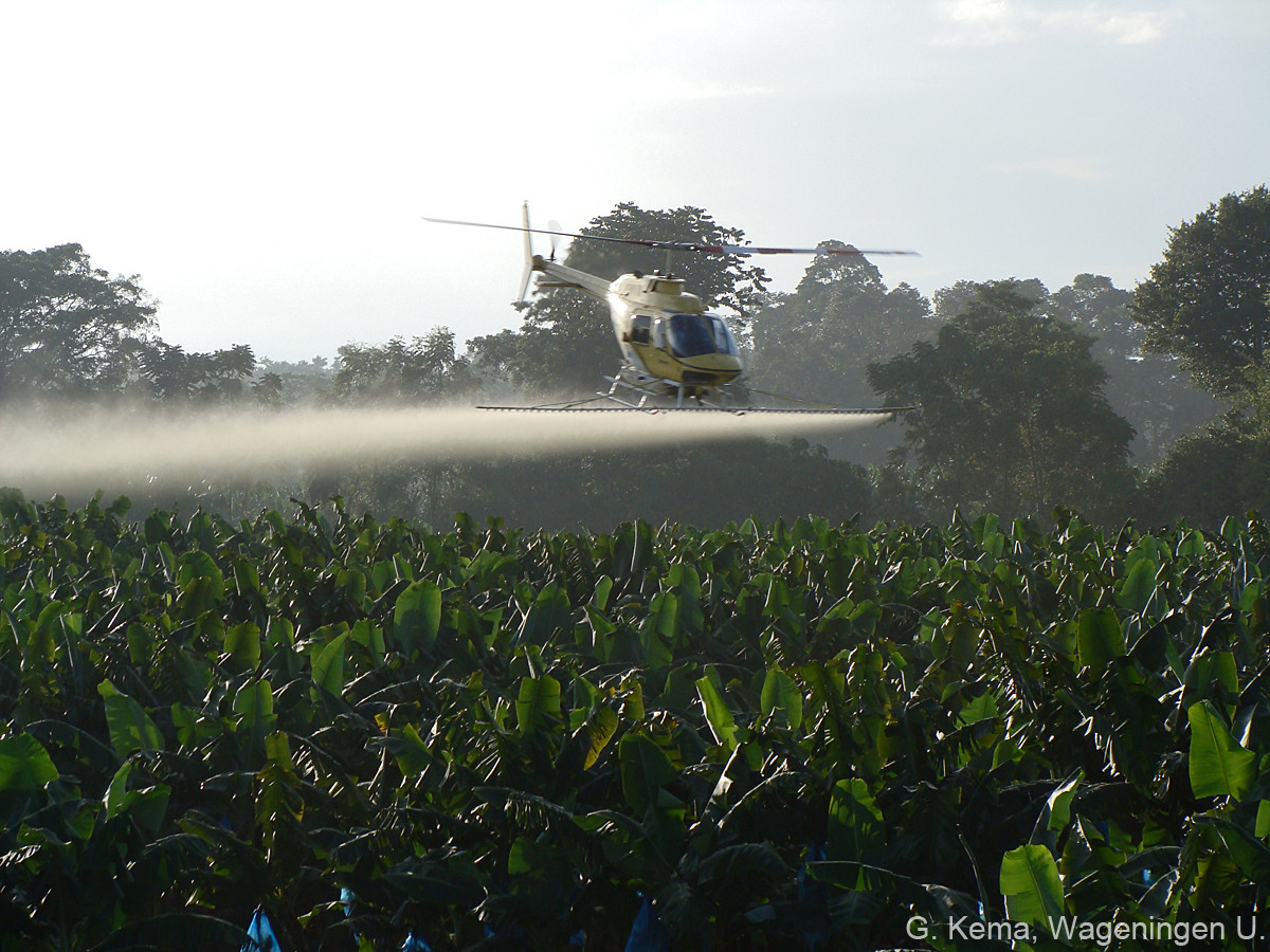 Helicopter spraying of fungicides to control black leaf streak disease in a plantation of bananas for export.