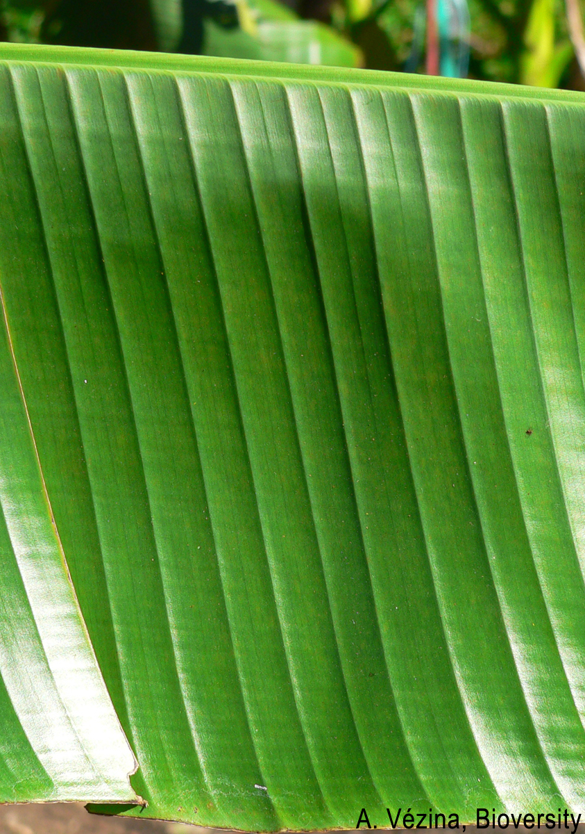 The leaves of Fei bananas usually have strong cross-corrugations.